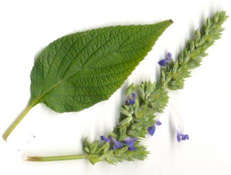 Чиа, или Шалфей испанский (Salvia hispanica)