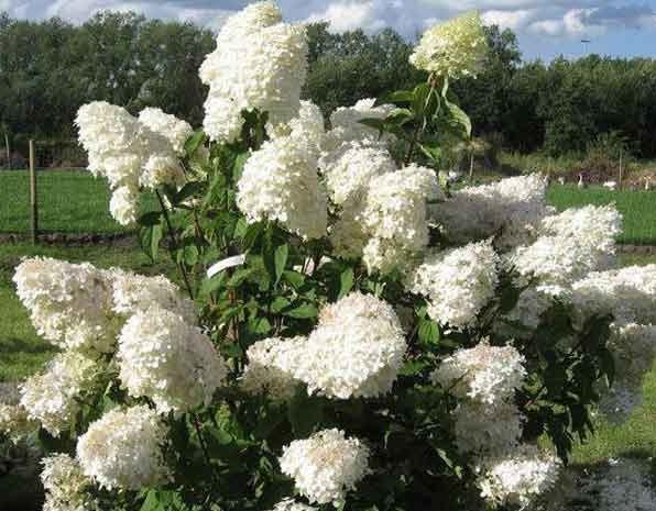 """Гортензия метельчатая """"Белые грезы"""" (Hydrangea paniculata)"""