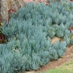 Клейния (Kleinia mandraliscae)