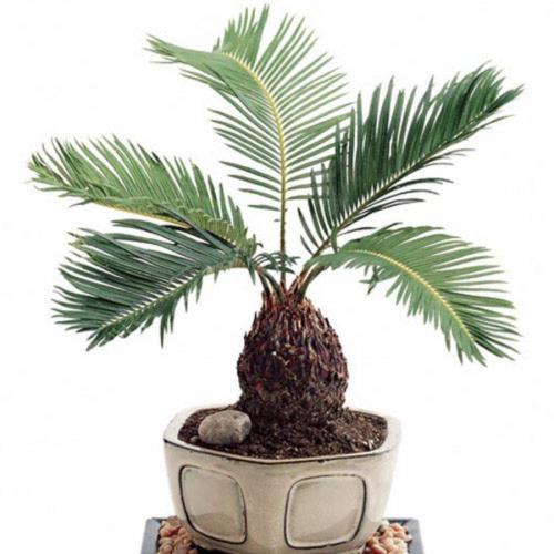 Пальма с финиковой косточки в домашних условиях