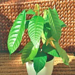 Шоколадное дерево, или Какао (Theobroma cacao)