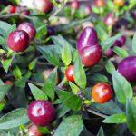 Декоративный перец «Филиус Блю» (Capsicum ornamental)