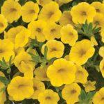 Калибрахоа VELMORINE Yellow
