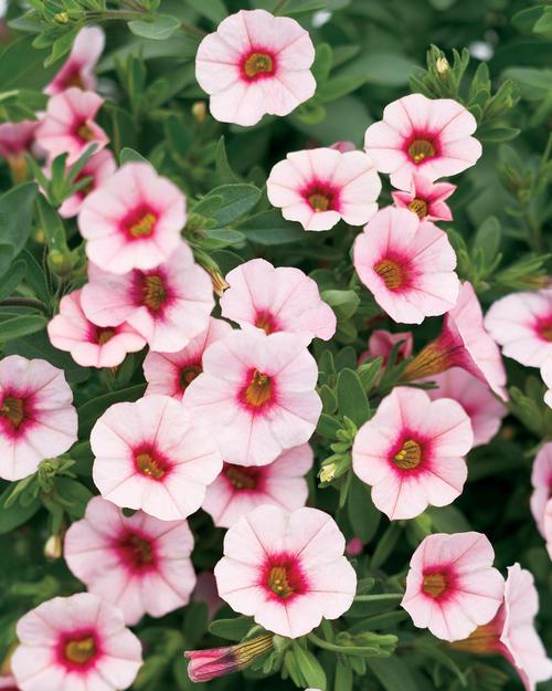 Калибрахоа Superbells 'Cherry Blossom'