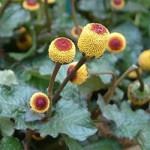 Спилантес Пикабу, или масляный кресс (Spilanthes oleracea)