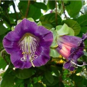 Кобея фиолетовая (Cobaea scandens)