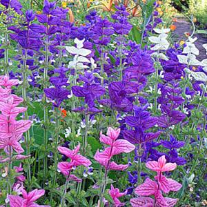 """Сальвия кустовая """"Яркое утро"""" (Salvia horminum)"""