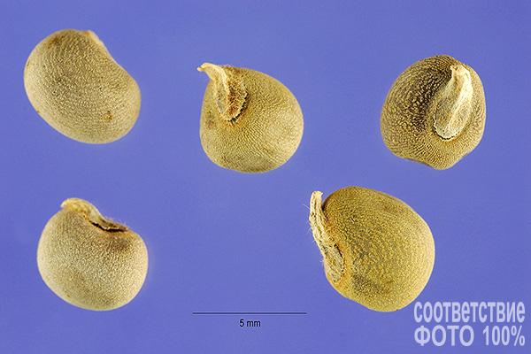 Abelmoschus esculentus, Окра, Бамия, Абельмосхус Image