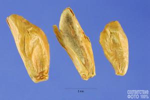 Abies amabilis, Пихта миловидная