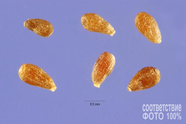 Artemisia absinthium, Полынь горькая Image