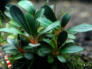 Bucephalandra motleyana «Gunung Sumpit»