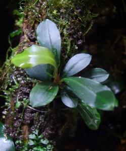Bucephalandra motleyana «Kapit»