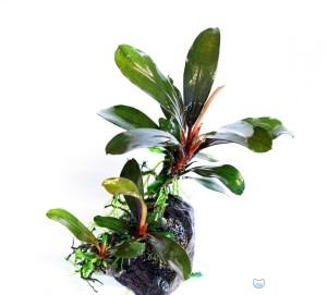 Bucephalandra motleyana «Riam Macam»