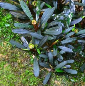 Bucephalandra motleyana «Riam Seterap»