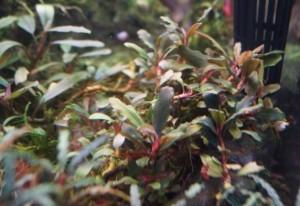 "Bucephalandra motleyana ""brown red"""