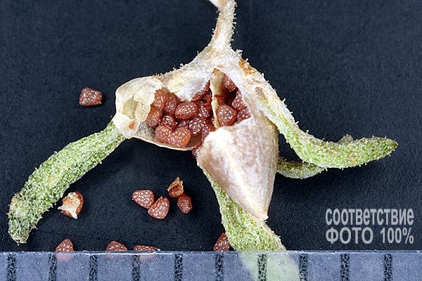 Calibrachoa parviflora, Калибрахоа Image