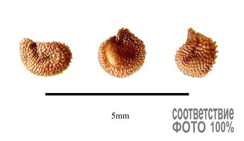 Cerastium tomentosum, Ясколка войлочная Image