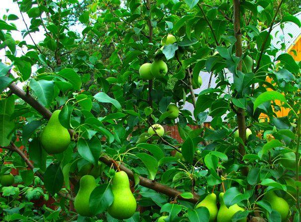 Груша привитая на яблоню
