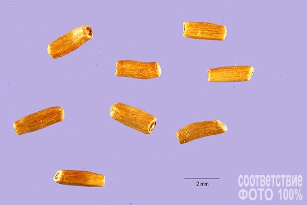 Helichrysum bracteatum, Гелихризум прицветниковый, Бессмертник Image