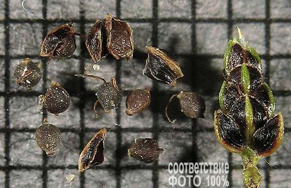 Isolepis Cernua, Изолепис поникающий, Камыш поникший Image