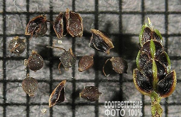 Scirpus cernuus (Камыш поникший), или Изолепис поникающий (Isolepis Cernua) Image