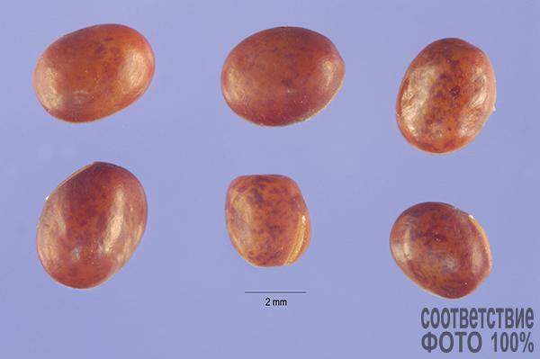 Lathyrus prantensis (Чина луговая) Image
