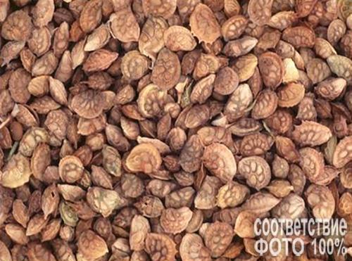 Onobrychis (Эспарцет) Image