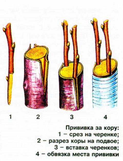 Прививка за кору