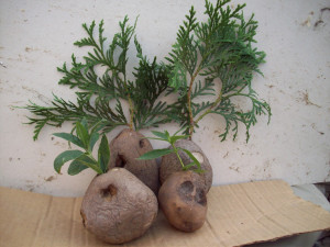 Картофель для корнеобразования