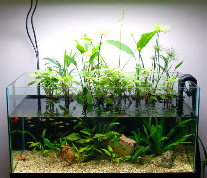 Буцефаландра — радужный эндемик для аквариума