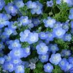 Голубая Немофила в бордюрахnemofila2