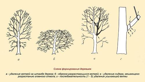 Благоустройство Санкт-Петербурга: омоложивание деревьев