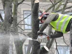 Благоустройство Санкт-Петербурга: омолаживание деревьев