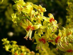 Кельрейтерия метельчатая, или Мыльное дерево
