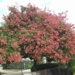 Мыльное дерево (Koelreuteria pankulala)