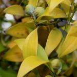 Нагейя, или Подокарпус (Nageia, Podocarpus nagi)