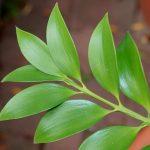 Нагейя, или Ногоплодник, Подокарпус, Африканская папоротниковая сосна (Nageia, Podocarpus nagi)
