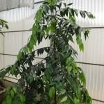 Нагейя, или Африканская папоротниковая сосна (Nageia, Podocarpus nagi)