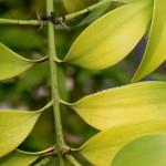 Нагейя (Nageia, Podocarpus nagi)