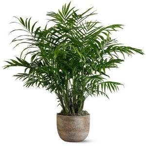 Хризалидокарпус Желтоватый, или Дипсис желтеющий (Chrysalidocarpus Lutescens)