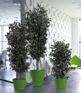 Эвкалипт Популус (Eucalyptus Populus)