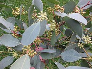 Эвкалипт Популус, или эвкалипт Тополевидный (Eucalyptus Populus)