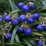 Офиопогон японский (плоды)