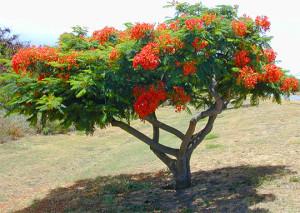 Афцелия африканская (Afzelia africana)