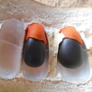 Афцелия африканская, или Афзелия, или Линга (Afzelia africana)