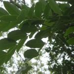 Афцелия  (Afzelia africana)