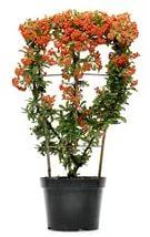 Пираканта Форчуна  (Pyracantha Fortuneana)