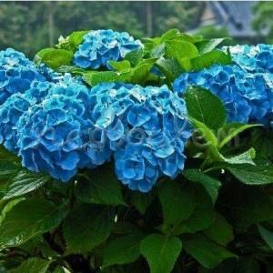 """Гортензия крупнолистная """"Никко Блю"""" (Hydrangea macrophylla 'Nikko Blue')"""