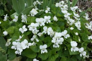 Фиалка садовая «White Ladies»