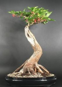Шелковица черная (Morus)